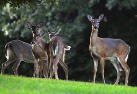 Deer at Elcona.jpg